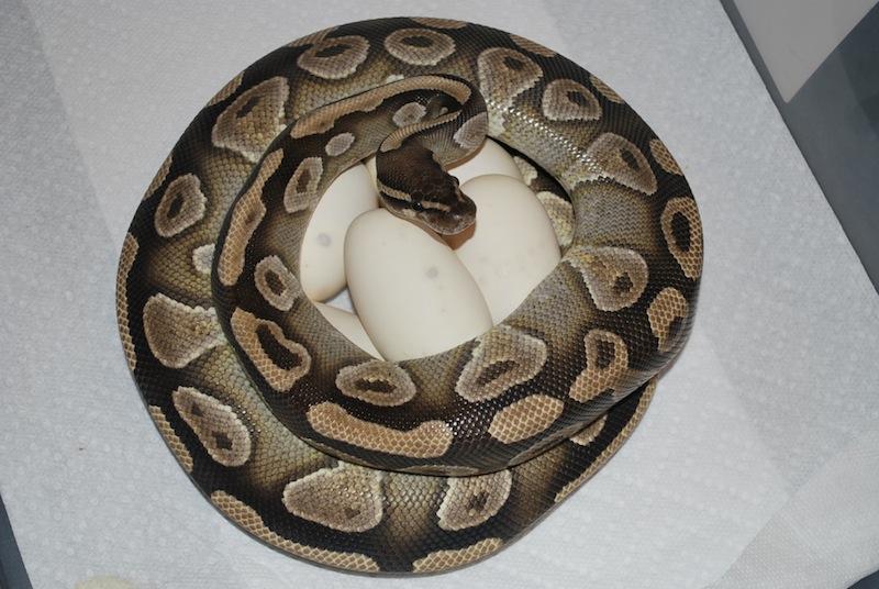 ball python temps