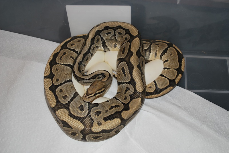 Ball Python Breeding Room Temperatures
