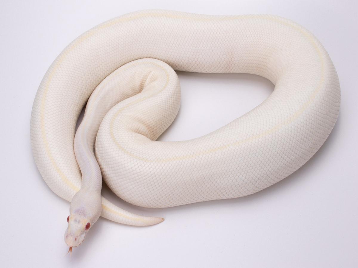 Albino Axanthic Ivory