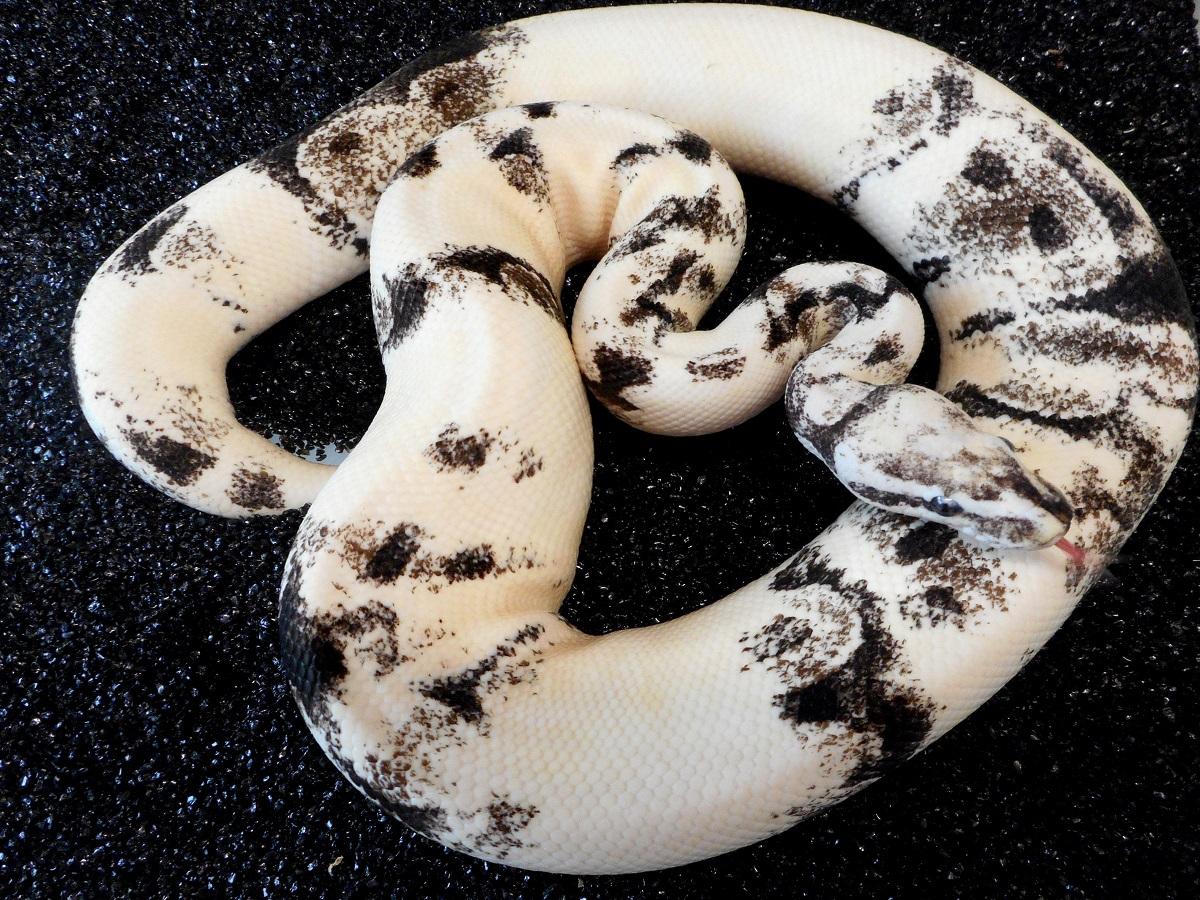 Albino Axanthic Whitewash