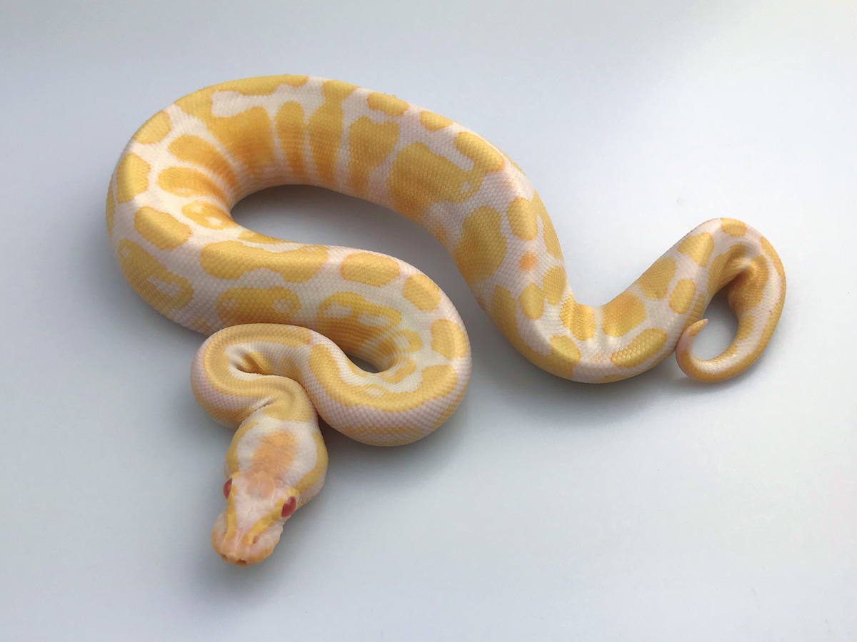 Albino Banana