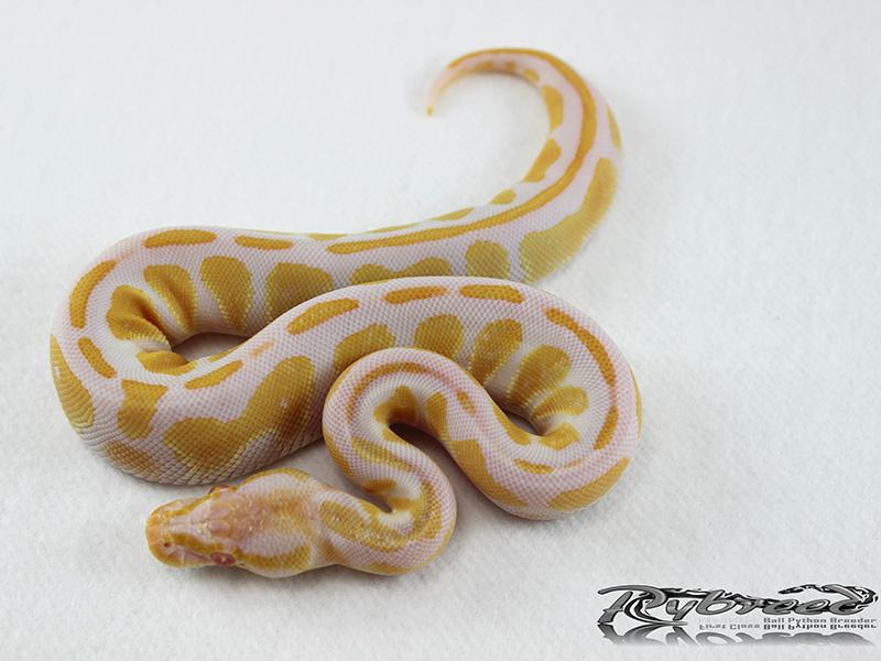 Albino Black Head