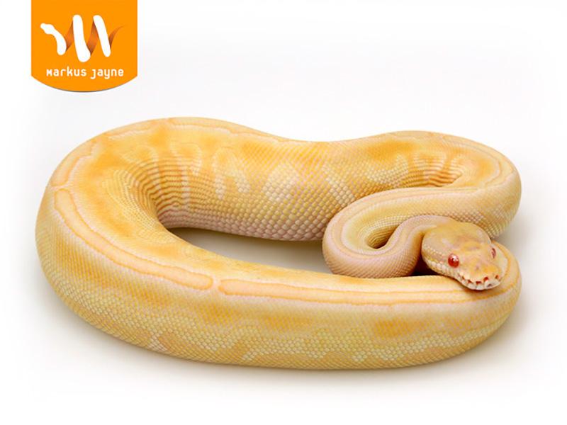 Albino Black Pastel Butter