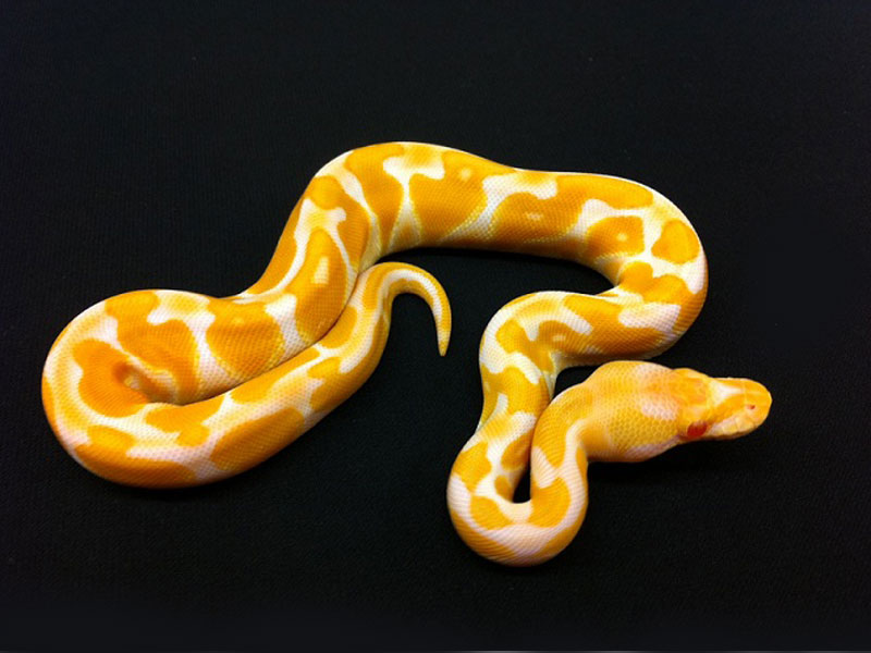 Albino Black Pastel Enchi