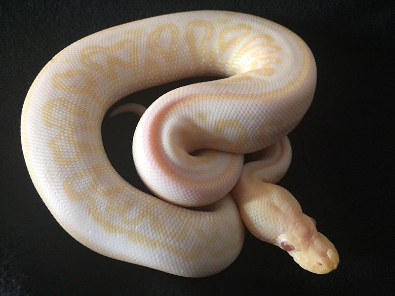 Albino Black Pastel Het Red Axanthic