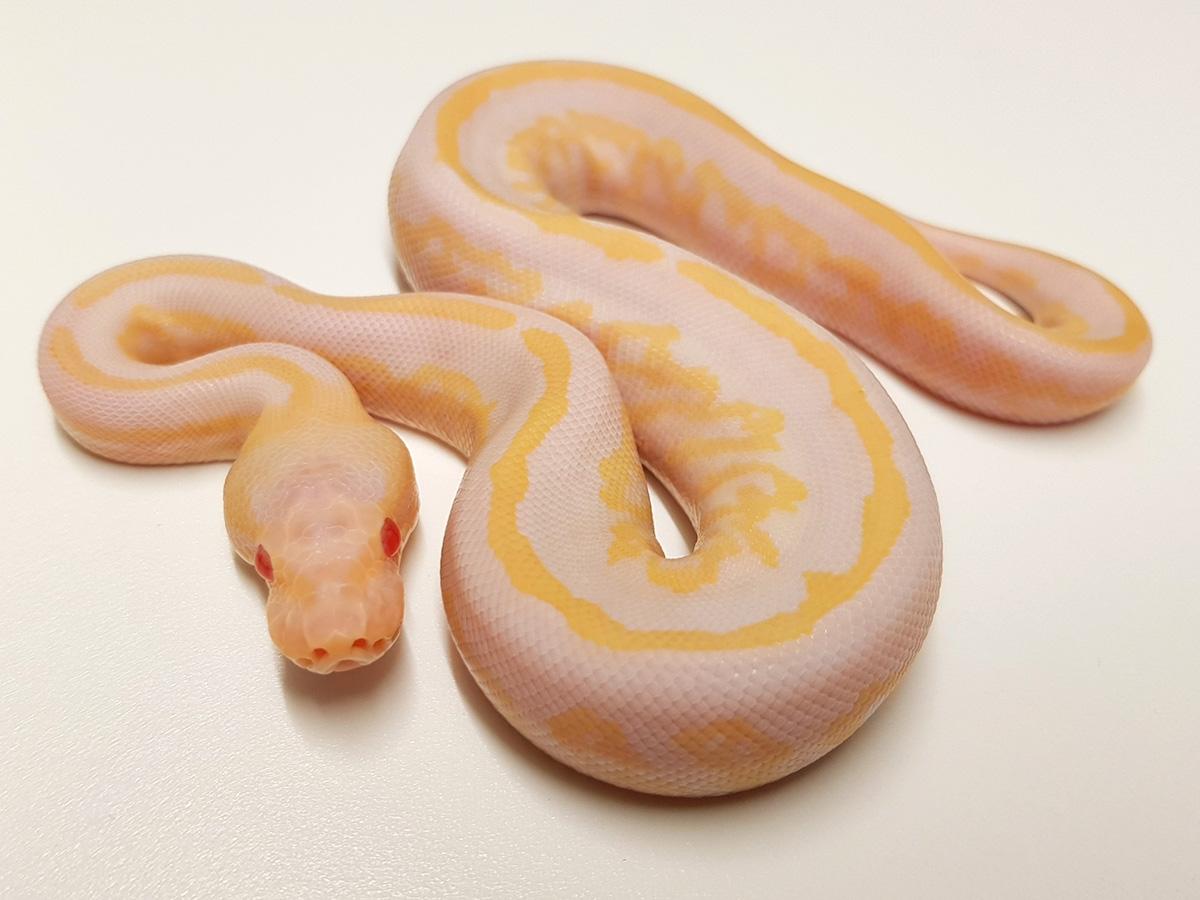 Albino Black Pastel Mahogany
