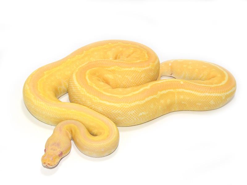 Albino Black Pastel Pinstripe