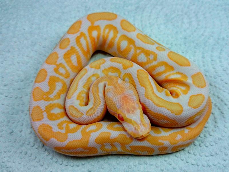 Albino Black Pastel Spotnose