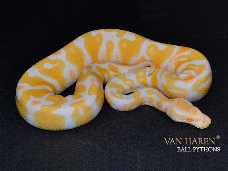 Albino Black Pastel Yellow Belly