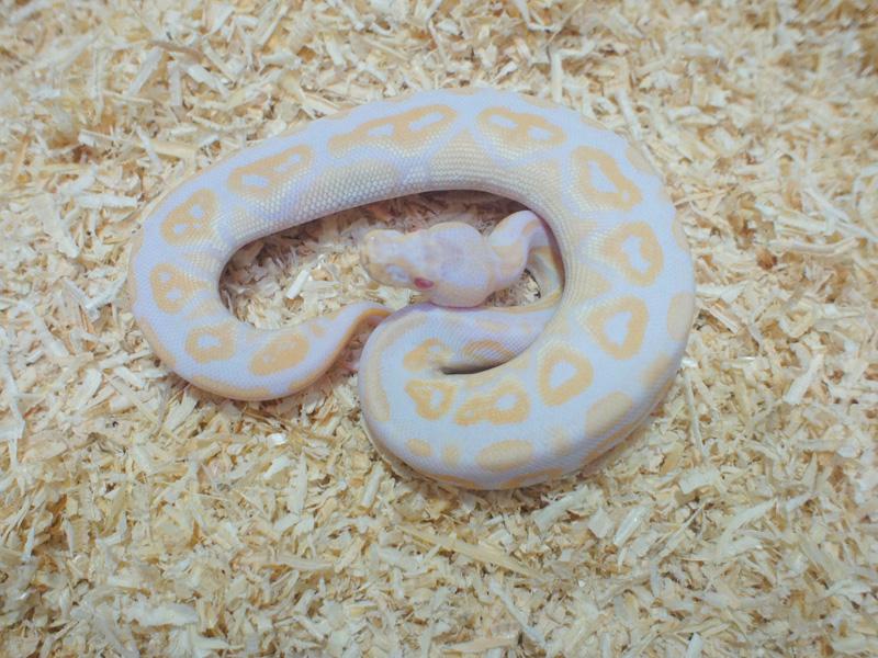 Albino Black Pastel