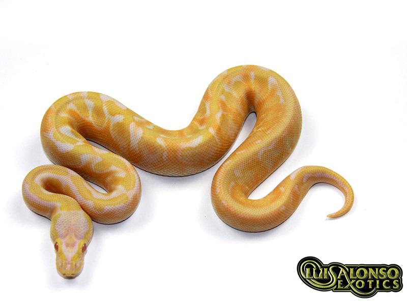 Albino Calico Enchi Fire Pastel