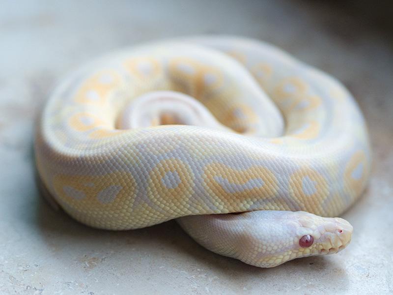 Albino Candy Cinnamon Pastel