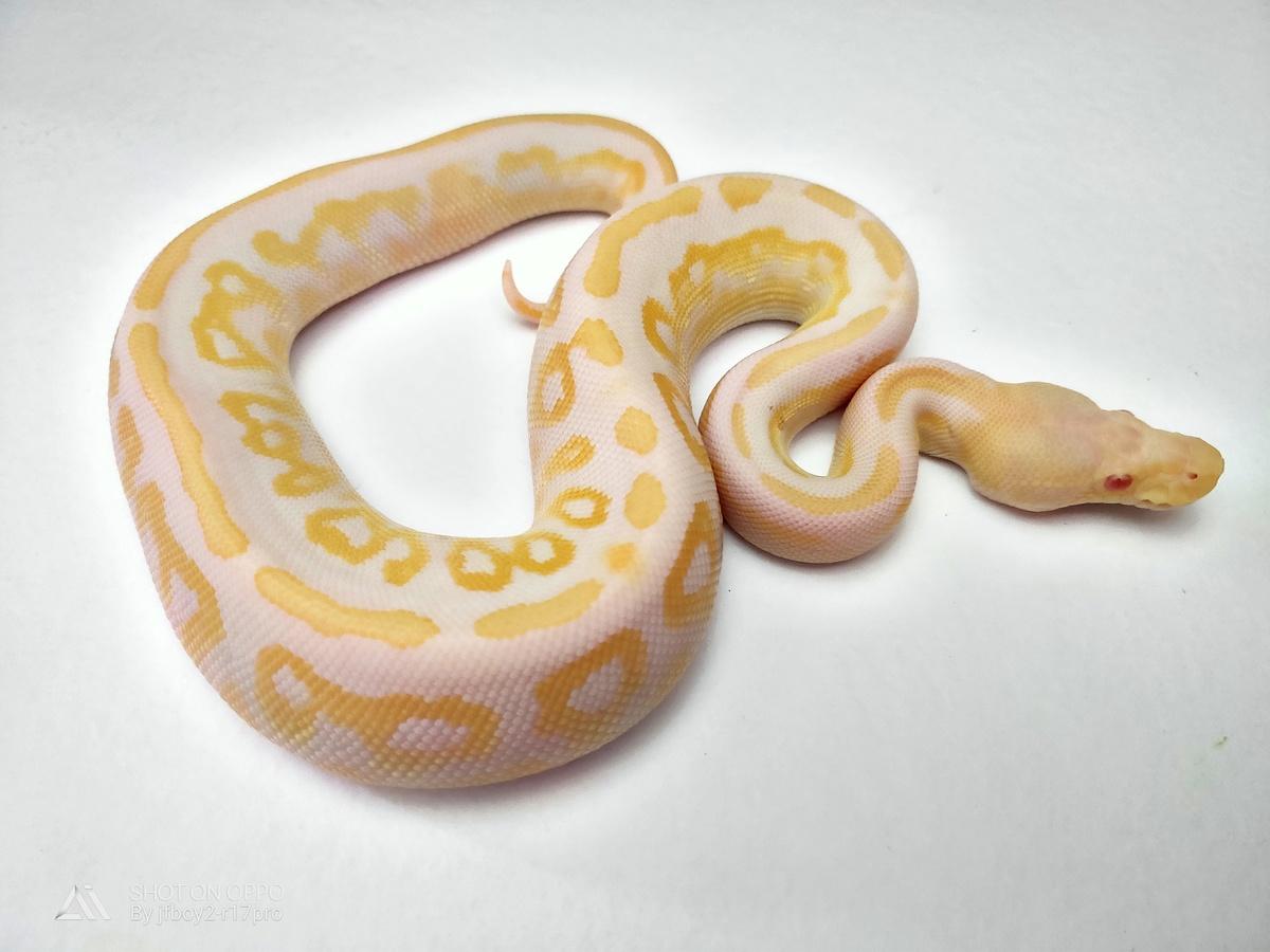 Albino Cinnamon Mystic