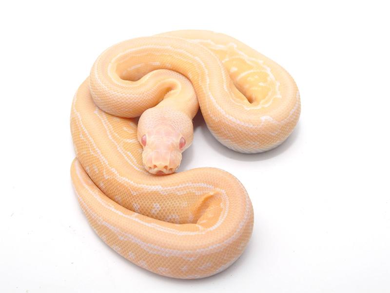 Albino Cinnamon Pinstripe