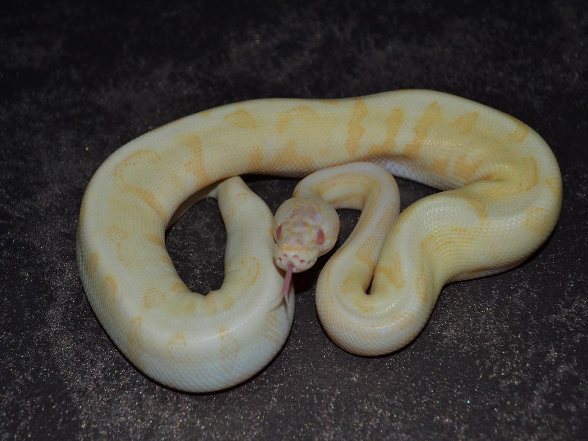 Albino Disco Fire Spider