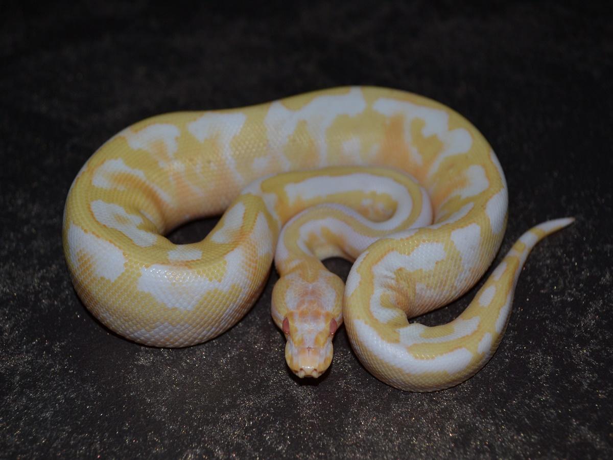 Albino Disco Fire