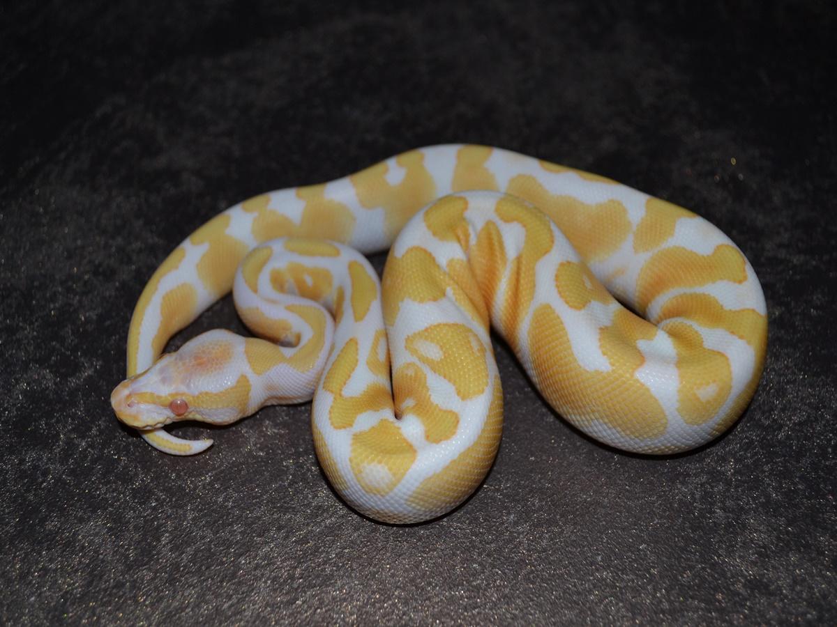 Albino Disco