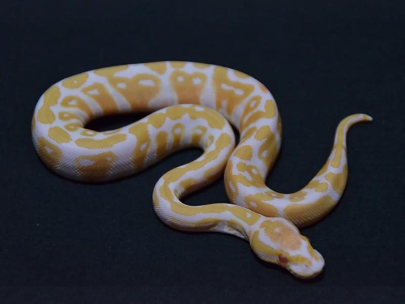Albino Fire