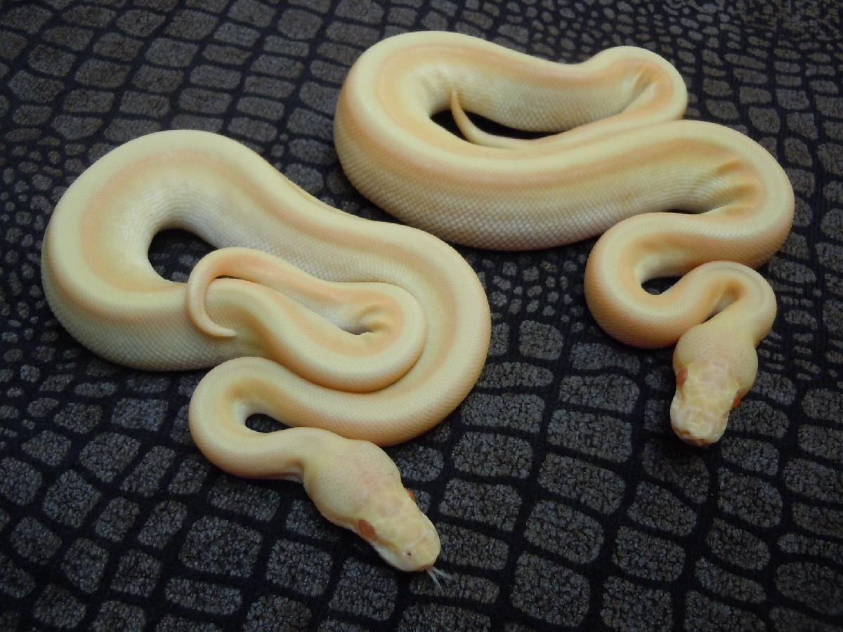 Albino Genetic Stripe Lesser