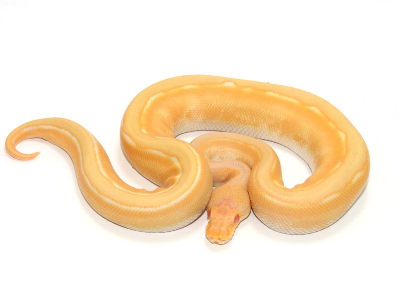Albino Genetic Stripe