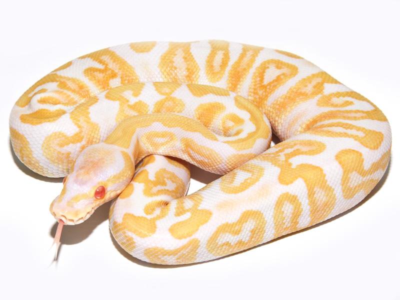Albino Ghi