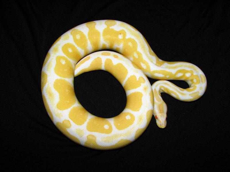 Albino Het Red Axanthic