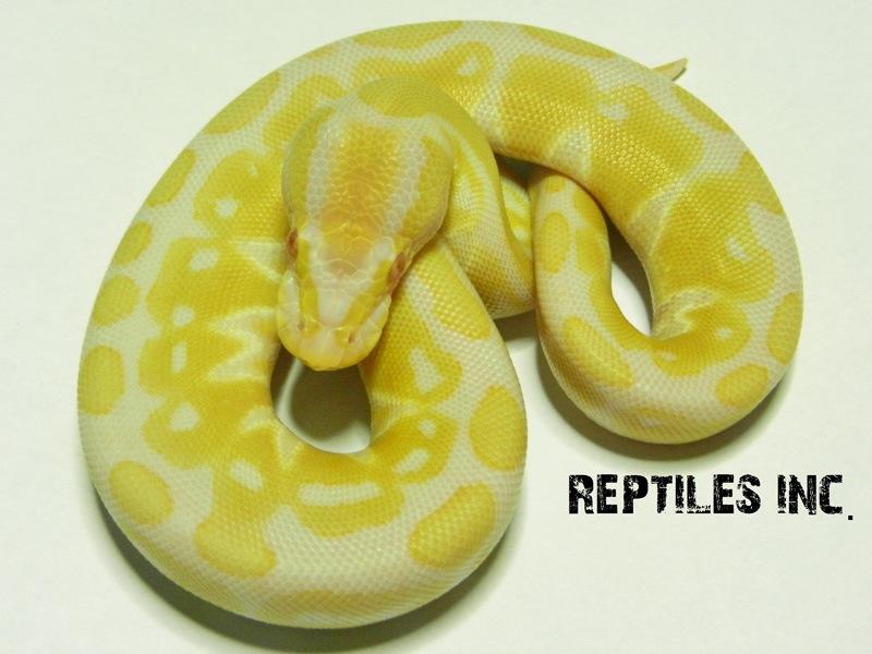 Albino Het Russo Leucistic