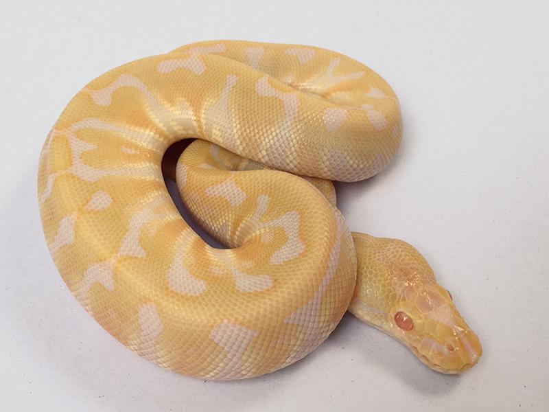 Albino Hidden Gene Woma