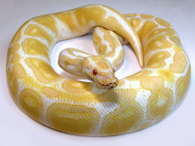 Albino - High contrast