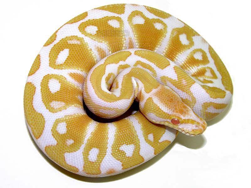 Albino - High contrast