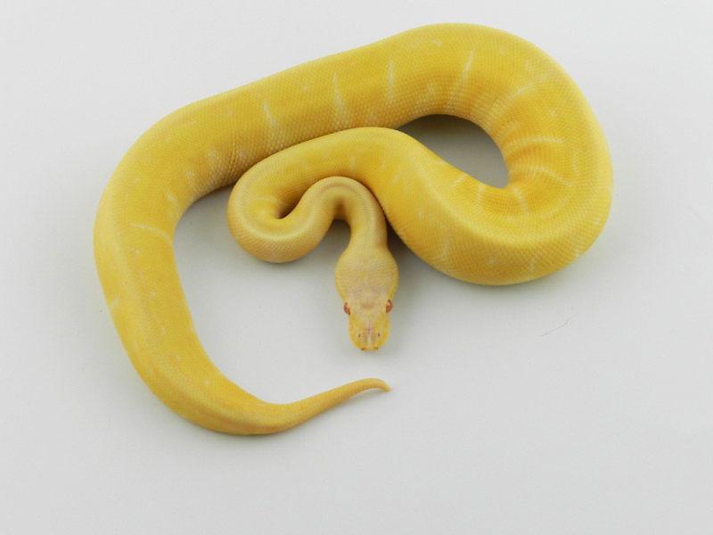 Albino Lemon Blast