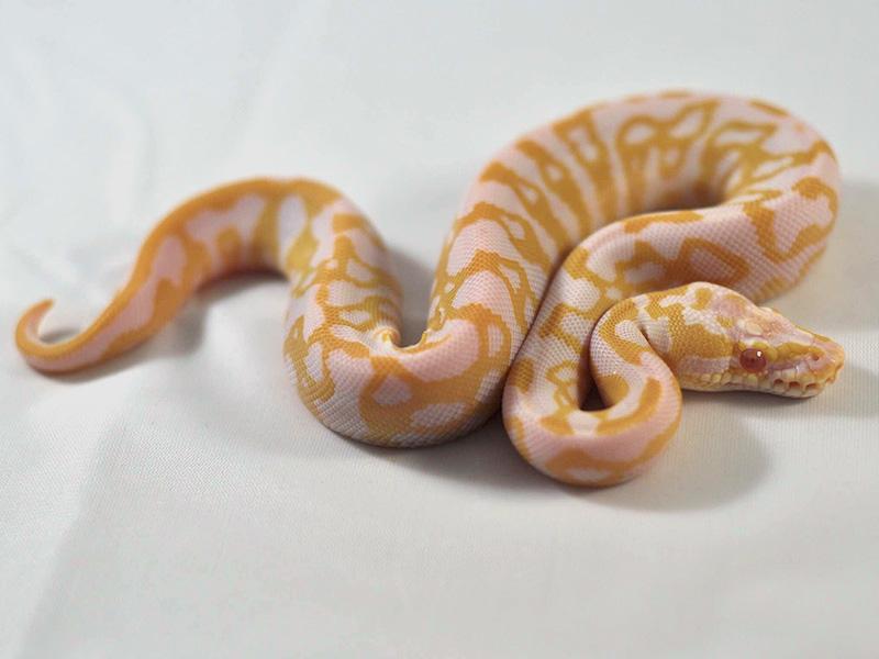 Albino Leopard Pastel