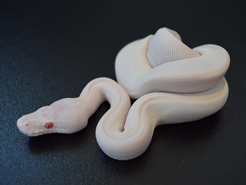 Albino Lesser Mojave