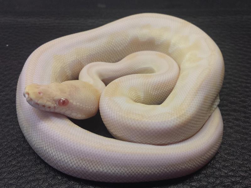 Albino Lesser Pewter