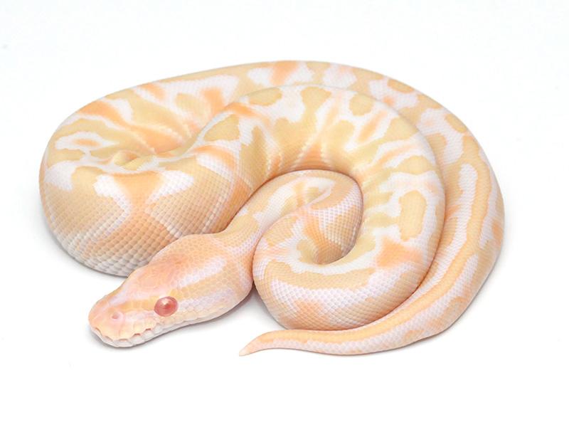 Albino Lesser