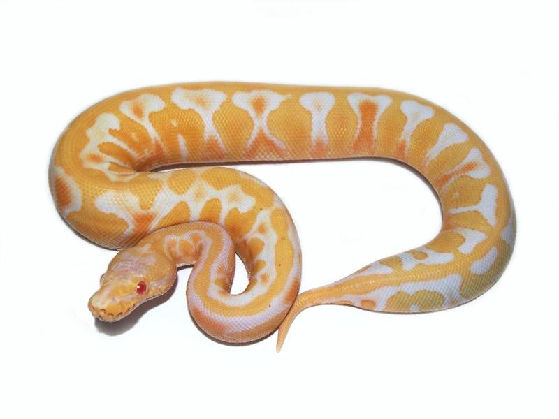 Albino Mahogany