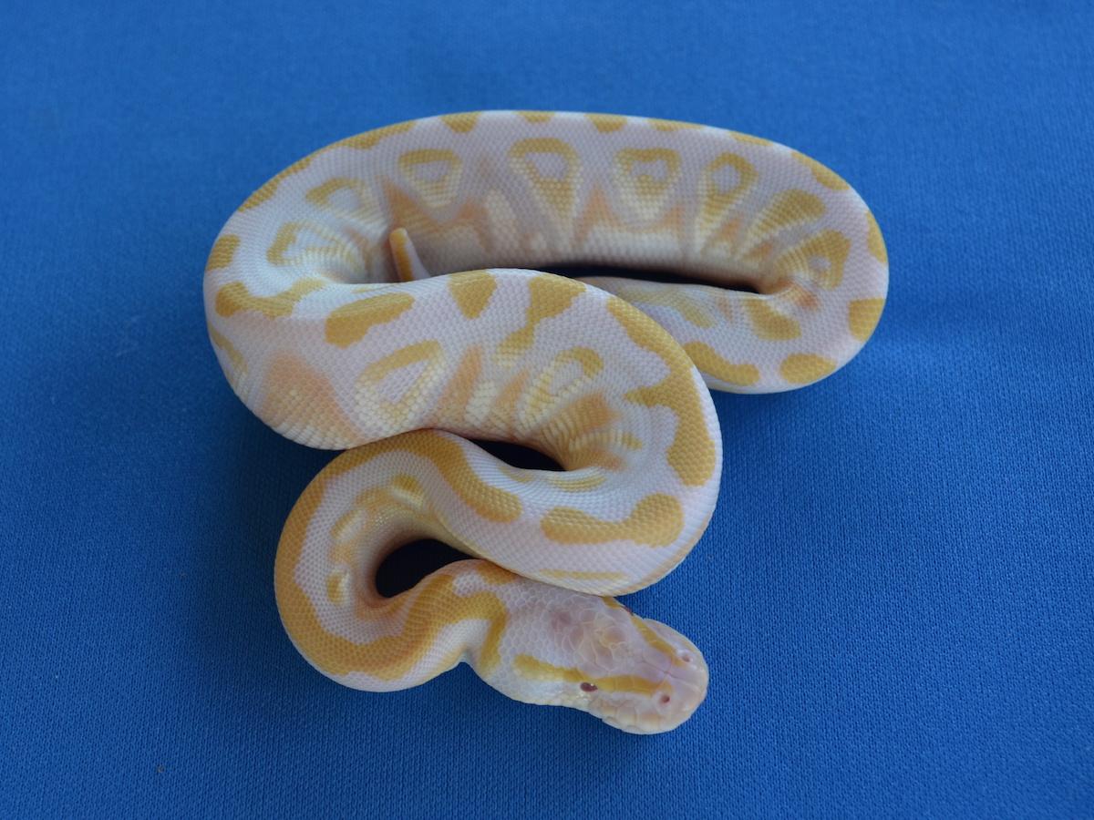 Albino Mojave Pastel