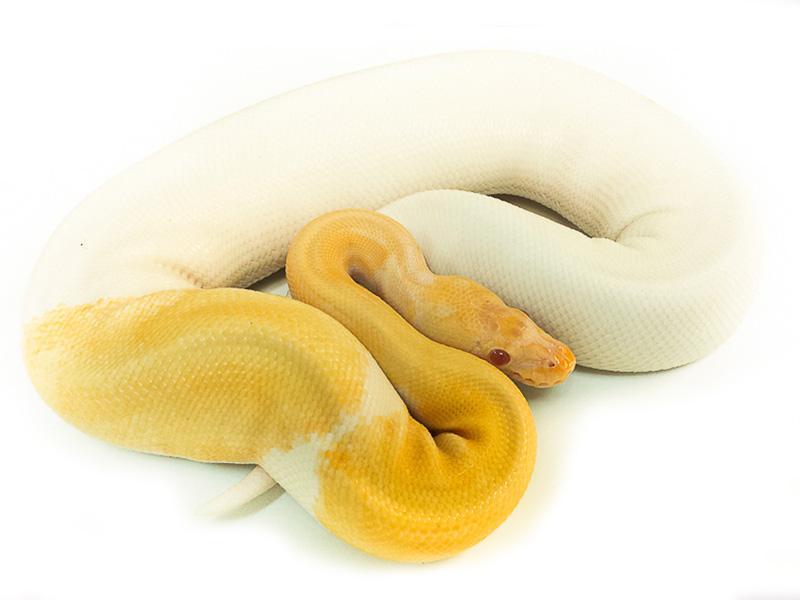 Albino Mojave Pied