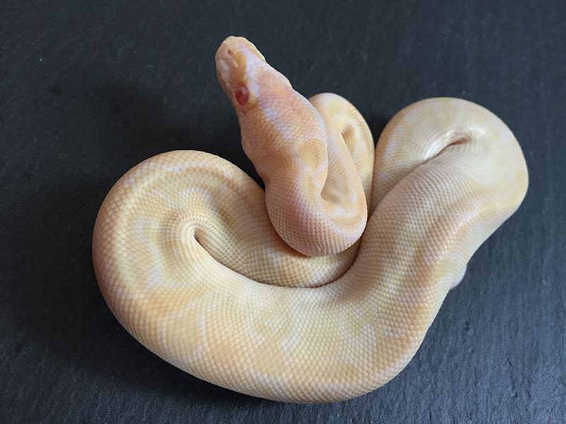 Albino Mojave Special