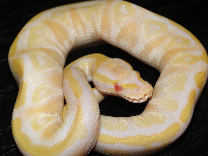 Albino Mojave