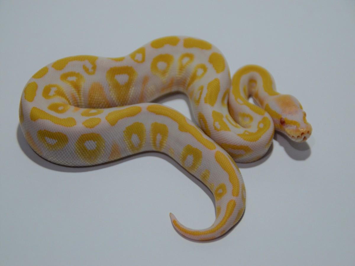 Albino Mystic