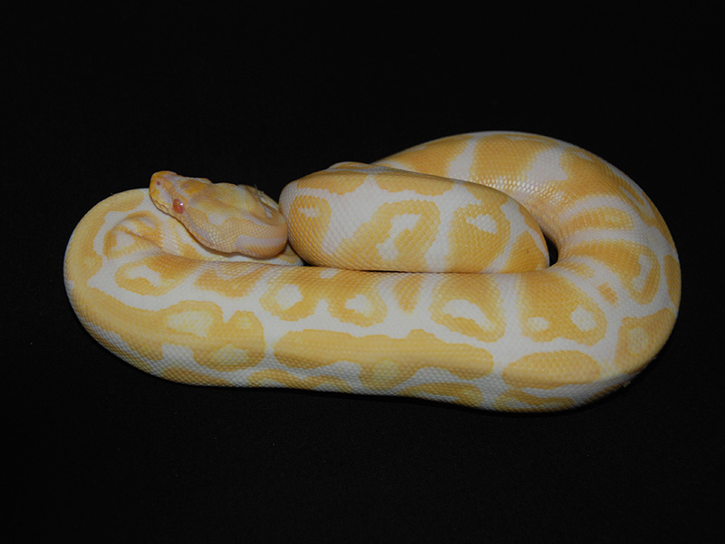 Albino Nebula Yellow Belly