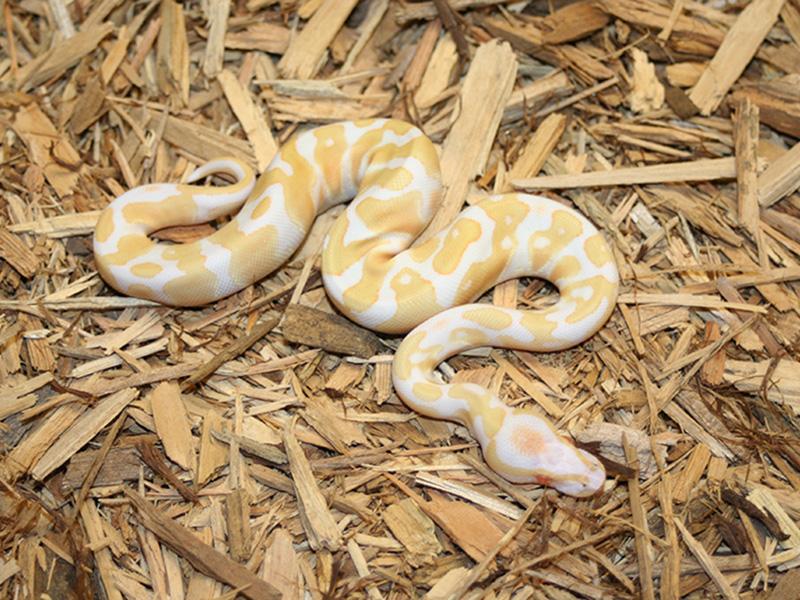 Albino Orange Dream Morph List World Of Ball Pythons