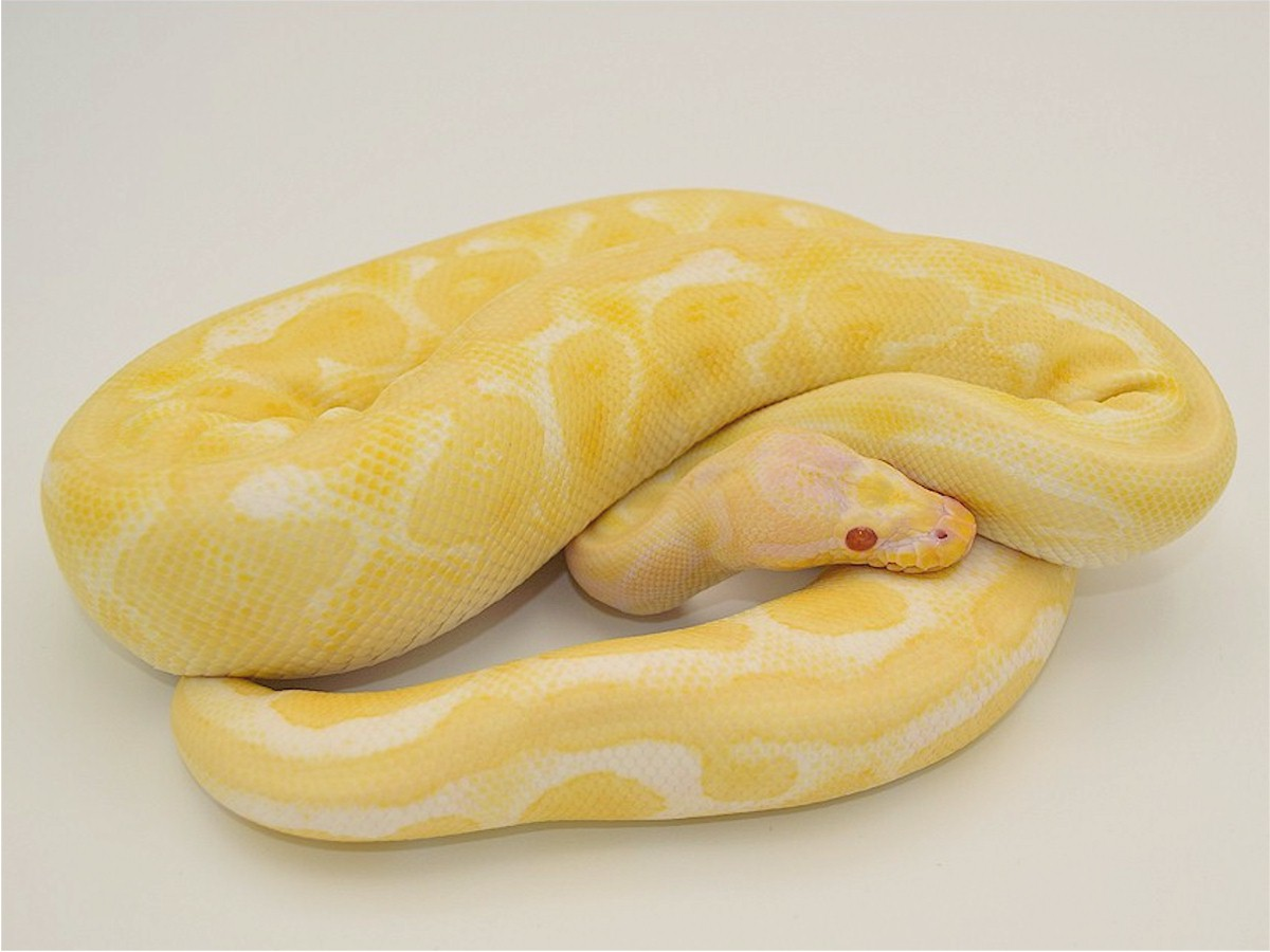 albino black pastel ball python - HD 1200×900