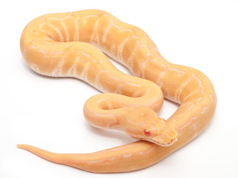 albino pinstripe ball python
