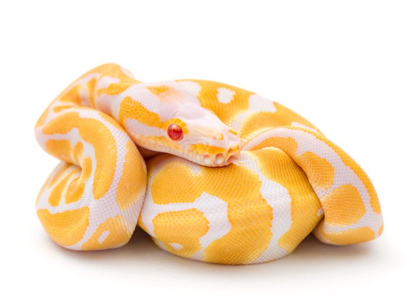 Albino WHS line Scaleless Head