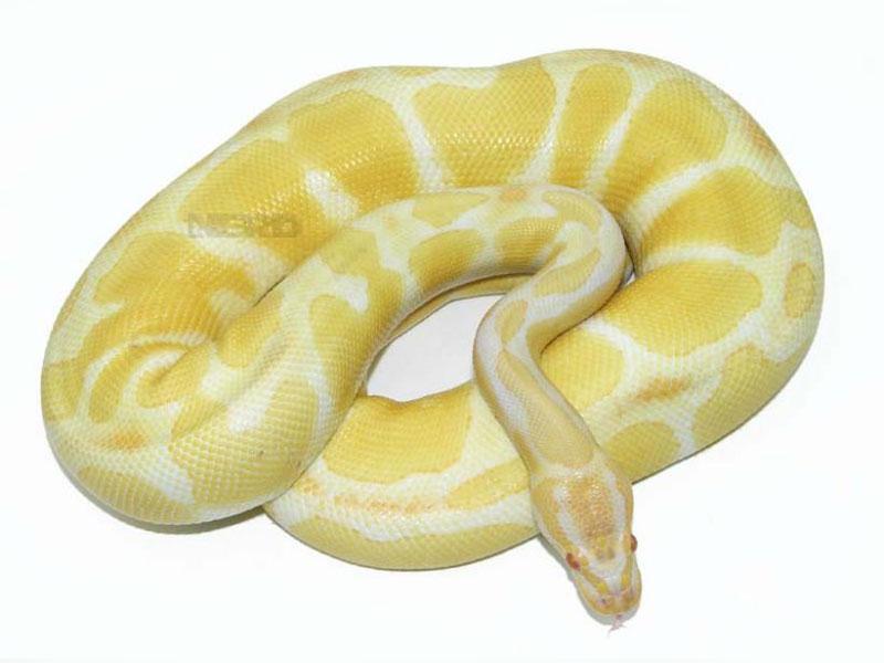 Albino