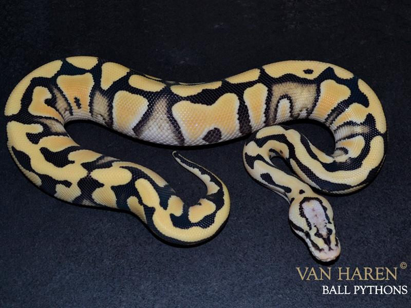 Amur Desert Ghost Pastel Morph List World Of Ball Pythons