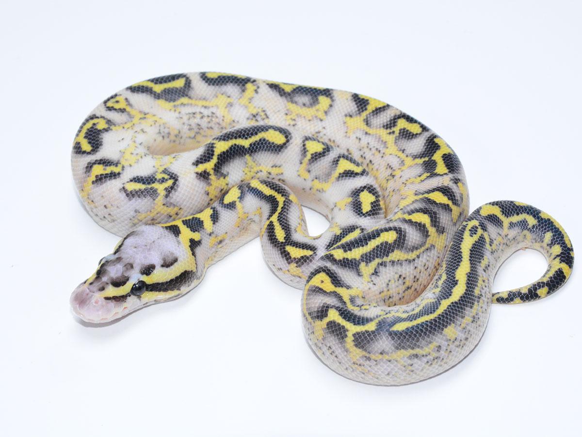 asphalt fire pastel yellow belly morph list world of