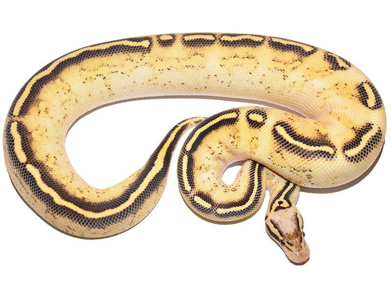 Asphalt Pastel Yellow Belly